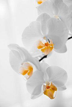 gele orchidee sur
