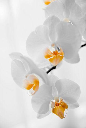 gele orchidee van