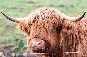 Schotse hooglander dichtbij van Tania Perneel