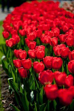 Tulpen sur Ad van Geffen