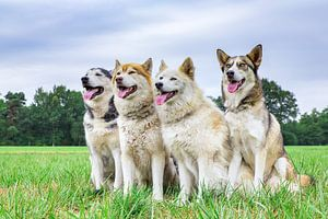 Vier huskies of poolhonden zitten op een rij in natuur van Ben Schonewille
