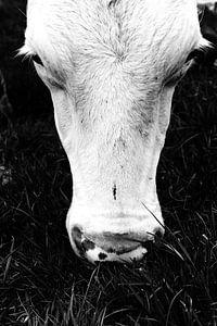 Witte koeienkop: laat me met rust van