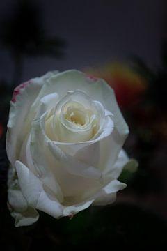Die Rose von Jaap Ladenius