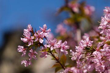 Sakura von Aiji Kley