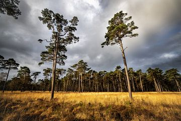 Drents landschap. Heideveld met dennen. van Arjan Boer
