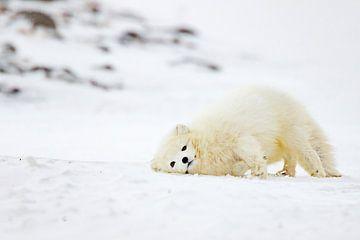 Jouer au renard arctique
