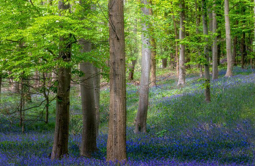 Blauw bos - Beuken met boshyacinten van Peschen Photography