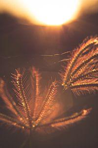 Grass in golden light