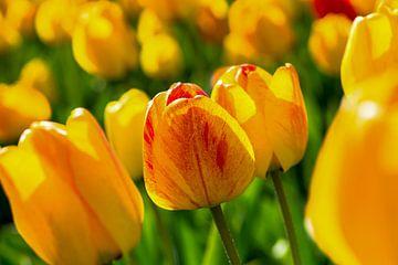 gelb-rote Tulpen von Jan Fritz