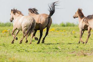 Rennende konikpaarden Oostvaardersplassen