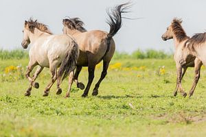 Paarden | Rennende konikpaarden - Oostvaardersplassen