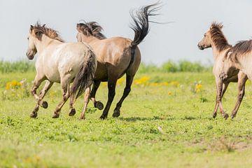 Pferden - Oostvaardersplassen von Servan Ott