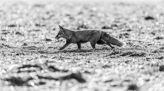 Fuchs Schwarz-Weiß