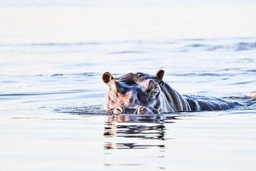Flusspferd von Robert Styppa