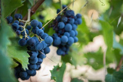 Druiven van Johan Vet