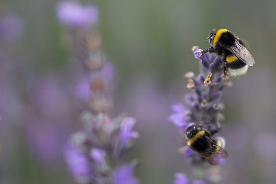 Hommels op Lavendel