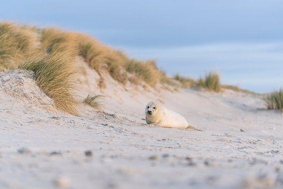 Donzig zeehondje in de duinen