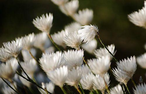 Witte bloemen I #pantheraafrica