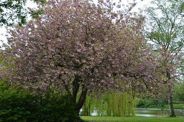Kirschblüte im Pfingstrosenpark in Groningen