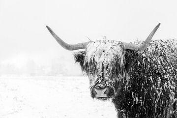Un highlander écossais dans la neige sur Edwin Muller