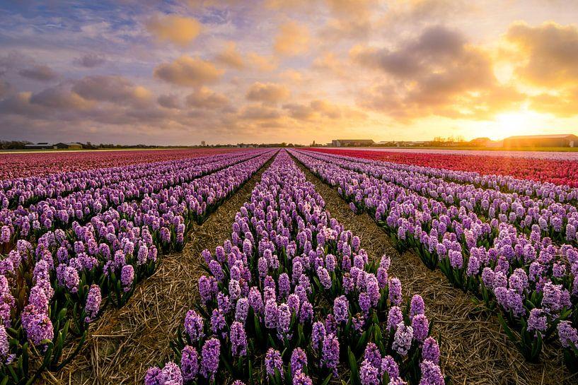 Bloeiende Hyacinthen van Martijn van der Nat