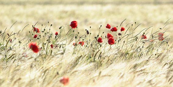 A poppy poem