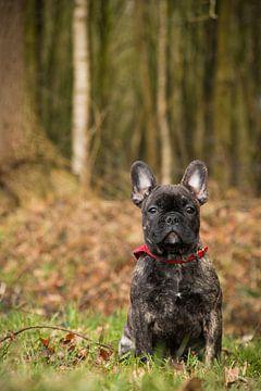 Franse Bulldog van Aukelien Minnema