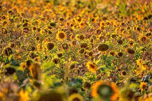 Sonnenblumen von Friedhelm Peters