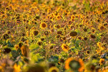Zonnebloemen van Friedhelm Peters