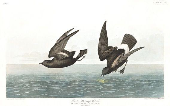 Vaal Stormvogeltje van Birds of America