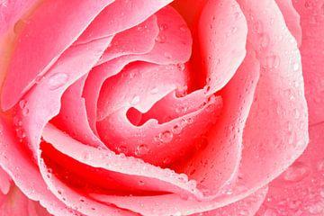 Roze bloeiende  roos met waterdruppels close up sur Nisangha Masselink
