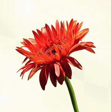 Oranje Gerbera 2 von Jonathan Kremer