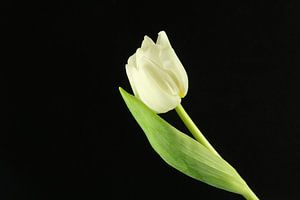 Witte tulp van Marieke Borst