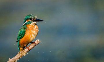 IJsvogel van Peter van Eijk
