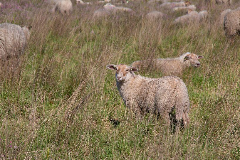 schapen op de  heide van Klaartje Majoor