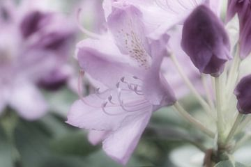 Rhododendron van Dagmar Marina