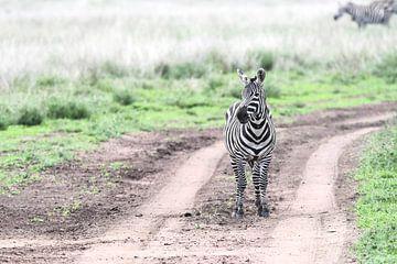 zebra van Robert Styppa