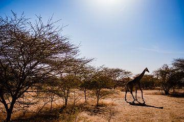 Giraffe im Senegal Afrika von Babet Trommelen