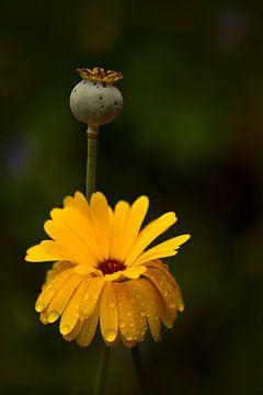 Gelbe Blume in Nahaufnahme von John Leeninga