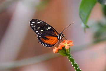 Vlinder op een mooie gekleurde bloem van Kim de Been