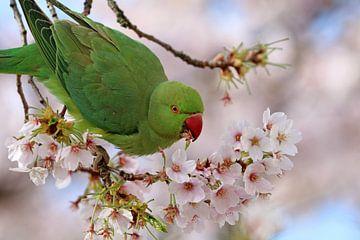Kragensittich zwischen den Blüten von Edwin Butter