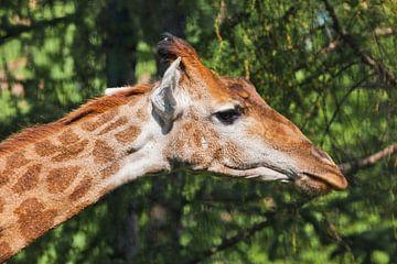 Kopf einer Giraffe in Nahaufnahme auf grünem Hintergrund. niedliches Tier zwischen den Bäumen im Pro von Michael Semenov