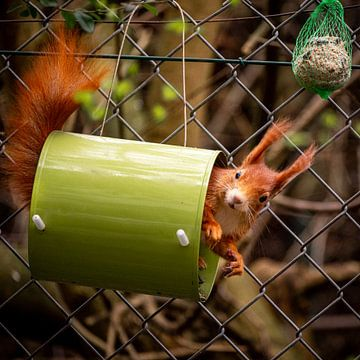 Eichhörnchen von Jens Sessler