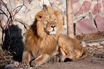 steht auf. Ein kräftiges Löwenmännchen mit einer schicken, von der Sonne geweihten Mähne. von Michael Semenov