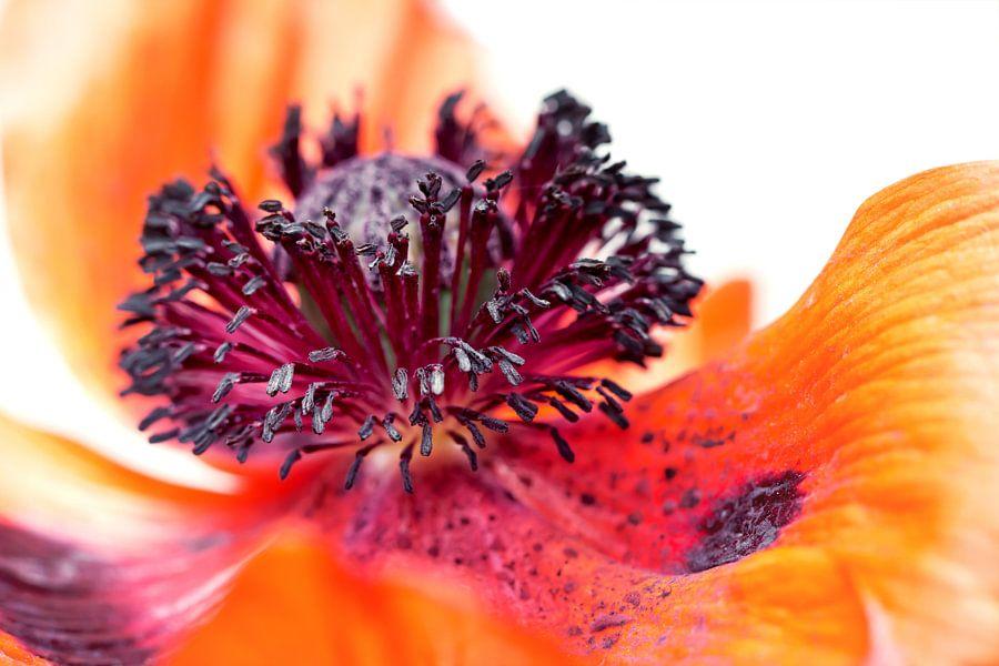 Eruption of colors... (II) (bloem, klaproos, lente, oranje) van Bob Daalder