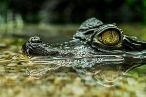 Crocodiles: I have my eye on you?.