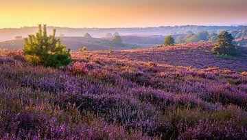 Sonnenaufgang über dem blühenden Heide von Rietje Bulthuis