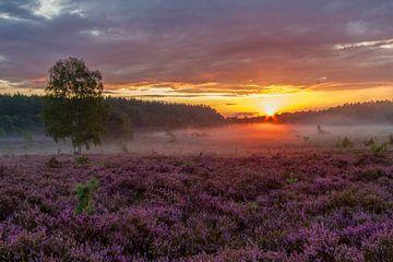 Violettes Heidekraut auf dem Teut in Zonhoven von Easycopters