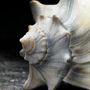 Meeresschnecke von Achim Prill