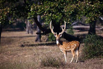 schöne gehörnte männliche Sika-Hirsche oder gefleckte Hirsche, ein kräftiges Tier von Michael Semenov